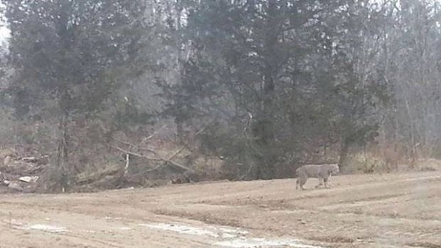 A resident of Sydenham, Ontario spotted bobcats in her backyard on Monday.