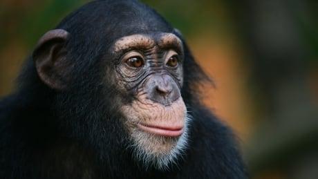 آیا شامپانزه ها از زمان مرگ خود خبر دارند؟