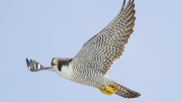 When it rains, adult falcons crouch above their chicks, wings spread like a canopy, to keep them dry. But warmer temperatures and more frequent heavy rains in the Arctic are, in some cases, forcing adult falcons to give up on their chicks.