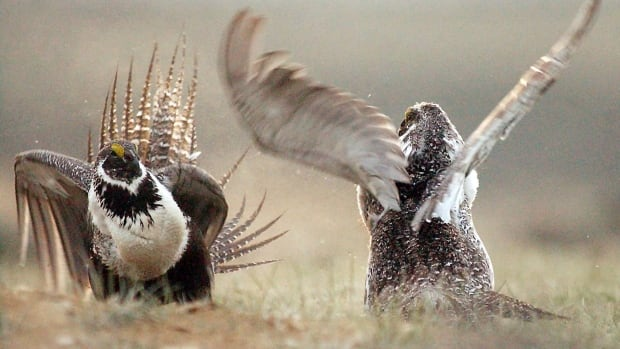 A male sage grouse does its mating dance to get the attention of a female.
