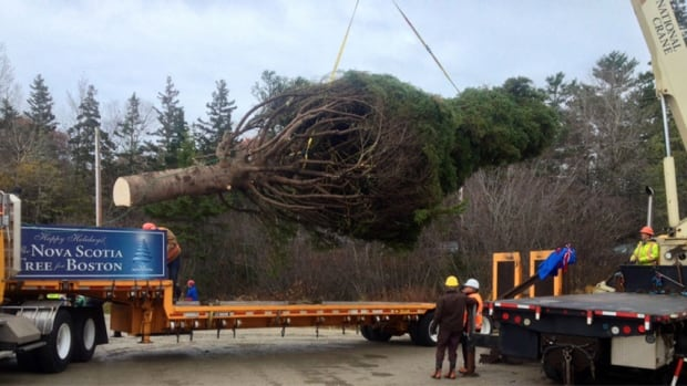 This year's thank-you Christmas tree from Nova Scotia to Boston was donated by Mary Lou Milligan in Mill Cove.
