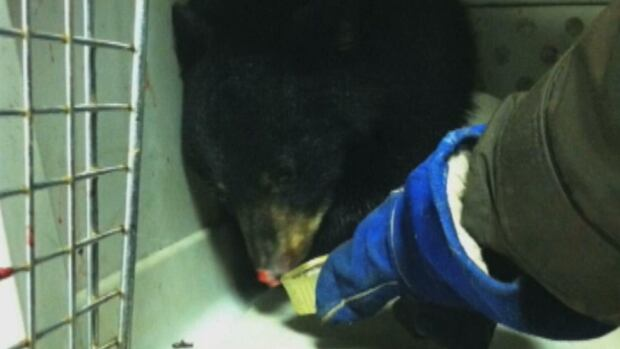 A badly injured bear cub in Wabush refused to eat when offered food. Conservation officers were forced to put the bear down.