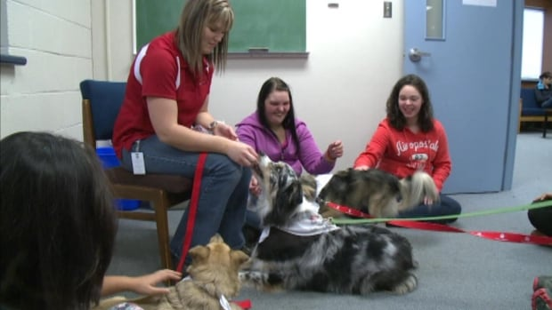 Students at Memorial University's Grenfell campus had special visitors this week when three therapy dogs were brought in to help students deal with exam stress.