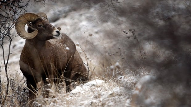 A bighorn ram moves through the snow near Rapid City, South Dakota. In Alberta, rams may only be legally shot once their horns form four-fifths of a complete circle on either side of their heads, which generally takes four or five years.