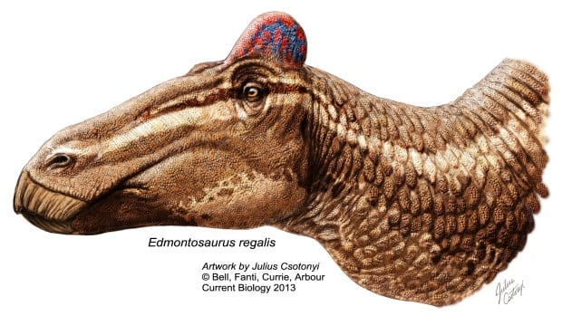 Edmontosaurus's fleshy comb may have been used in social displays during competition for females, as it is in roosters.