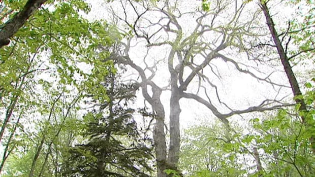Residents tell stories about how this tree was around when Jacques Cartier first sailed into the Gulf of St. Lawrence.