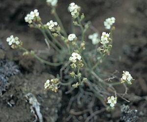 Hairy braya plant
