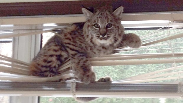 How do you catch a bobcat? Step 1: Leave your basement door open. Step 2: Deploy blinds.