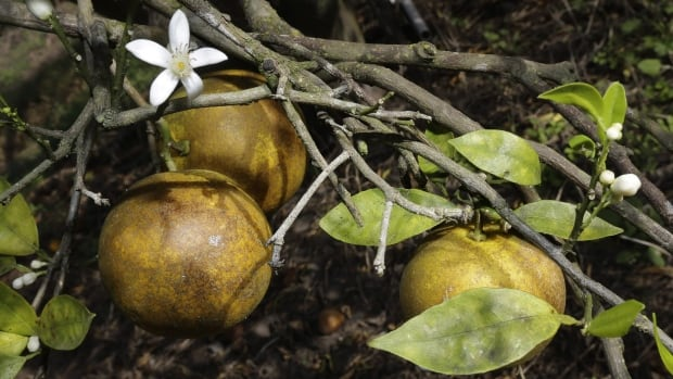 An orange blossom grows alongside some ripening fruit in a grove in Plant City, Florida.