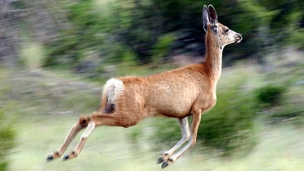 The white-tailed deer population is around 400,000 in Ontario and there are no plans for a cull, said the Ministry of Natural Resources.