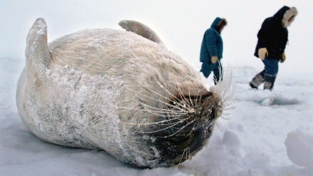 Inuit hunters walk by a ring seal they caught through the ice on Frobisher Bay near Iqaluit, Nunavut. Seal hunters in Nunavut are now selling fewer than half the number of skins than before the European Union seal ban.