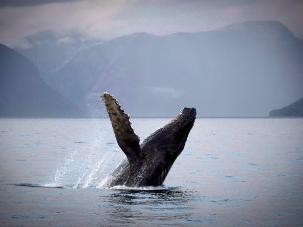 The Canadian government is downgrading the protection of humpback whales off the coast of B.C. from 'threatened' to 'species of concern.'