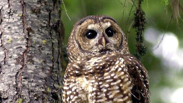 In this May 8, 2003, file photo, a northern spotted owl sits on a tree in the Deschutes National Forest near Camp Sherman, Ore. An experiment to see if killing invasive barred owls will help the threatened northern spotted owl reverse its decline toward extinction is underway in the forests of Northern California. In British Columbia, the northern extent of the northern spotted owl's range,  shooting of barred owls in the spotted's territory was approved in January 2013.