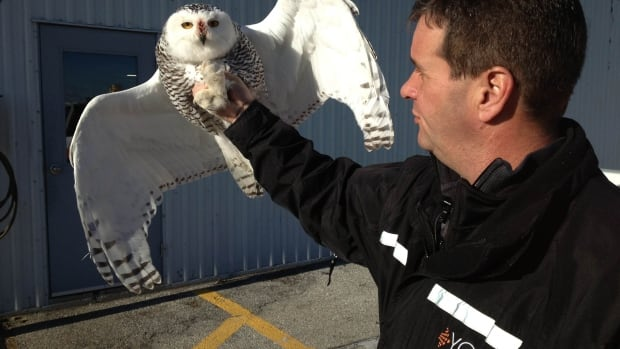 Snowy owls have arrived at Windsor International Airport. Meanwhile, east of Windsor, five have struck five planes at John F. Kennedy International, Newark Liberty International and LaGuardia airports.