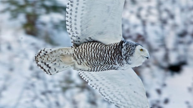 The Snowy Owl has been spotted in Burlington and Dundas.