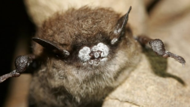 White-nose syndrome is a rare fungal infection that attacks bats while they hibernate.