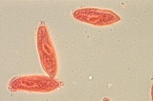 animal  conjugation of Paramecium caudatum