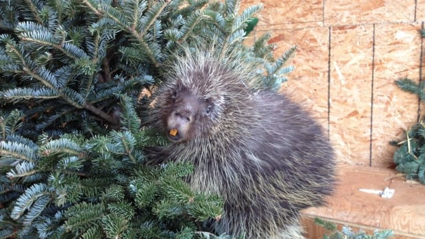 Staff at the Wildlife Rehabilitation Society of Edmonton are asking Edmontonians to consider dropping off their old Christmas trees to help make injured wildlife feel more at home while they recover.