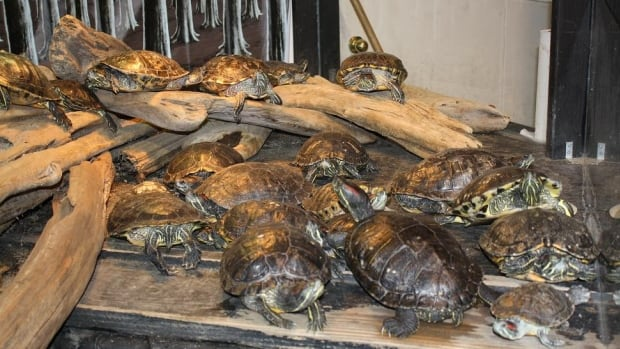 Due to overcrowding, a rescue facility says it must kill 20 of the 81 red-eared slider turtles it houses.