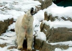 Chicago Polar Bear