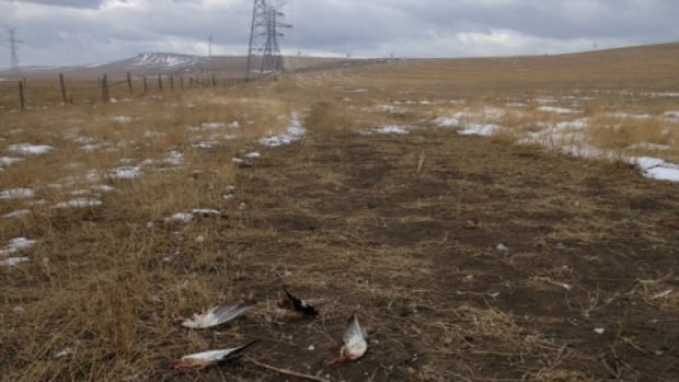A retired scientist took this photo of what appears to be dead ducks underneath a transmission line in the Pincher Creek area.