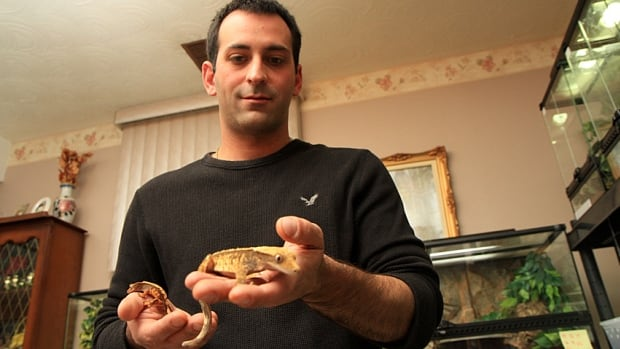 In a year and a half, Tony Caltagirone has gone from owning one gecko to owning 130. He's started a home breeding business that he has now moved to Barton Street East.