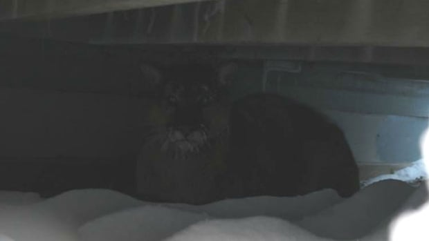 A large cougar was nestled under the back deck of the Warriner home near Big River, Sask.