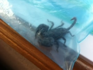 Scorpion in bag