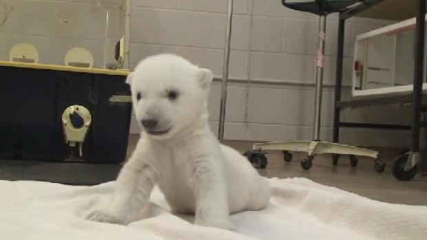 Nearly two months old, this cub is now walking.