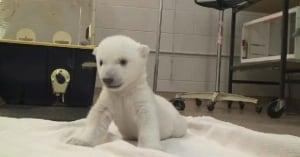 Polar bear cub walks