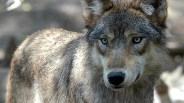 The latest wolf sighting happened Thursday in Kenora's Lakeside area. File photo used for illustration purposes only.