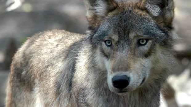 Parks Canada officials have collared three wolves from a problem pack in Banff National Park.