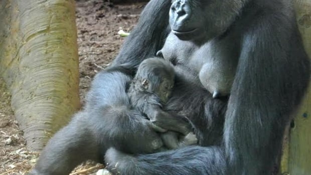 The baby has remained close to its mother since its birth overnight on Thursday.