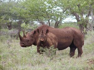 Rhino Hunt-Auction