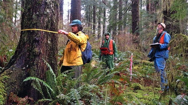 Oregon State University scientists measure tree growth regularly at the H.J. Andrews Experimental Forest. A new paper says that contrary to what was once believed, older trees grow faster than younger ones.