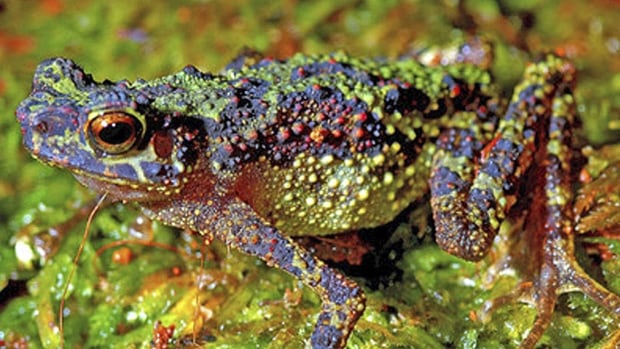 A field recording of frogs singing in a swamp at a national park in Sarawak, Malaysia, has been judged The Most Beautiful Sound in the World.