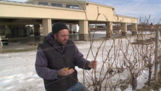 Winemakers in Essex County say they've likely lost much of their grape crop this year due to extremely cold weather in January.
