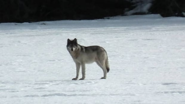 'Once they figure out that dogs are easy to take, they take 'em,' said Yukon conservation officer Dave Bakica.