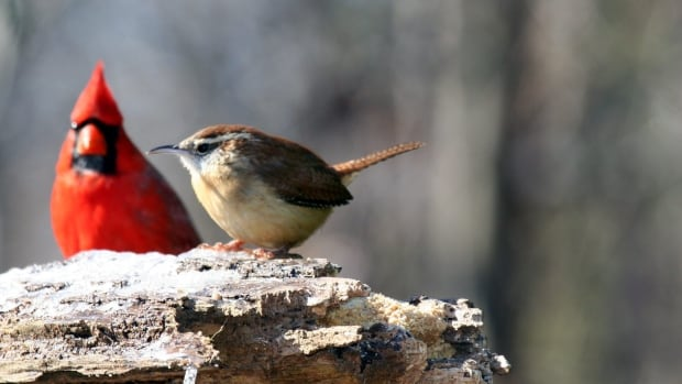 The Carolina wren, right, used to be rare in Ontario and now is feeling the wrath of winter, something it's not used to.