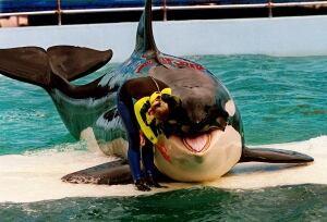 Lolita L-pod orca, at Miami Seaquarium in 1995