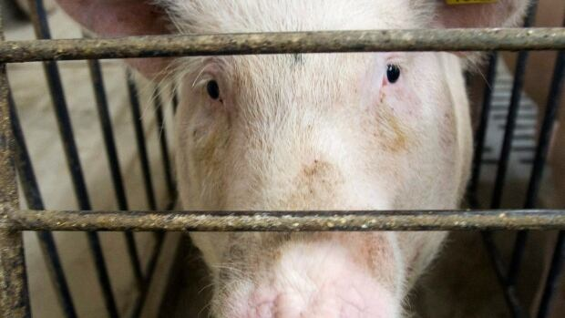 Porcine epidemic diarrhea spreads through contact with manure.