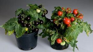 Purple tomatoes 2.jpg