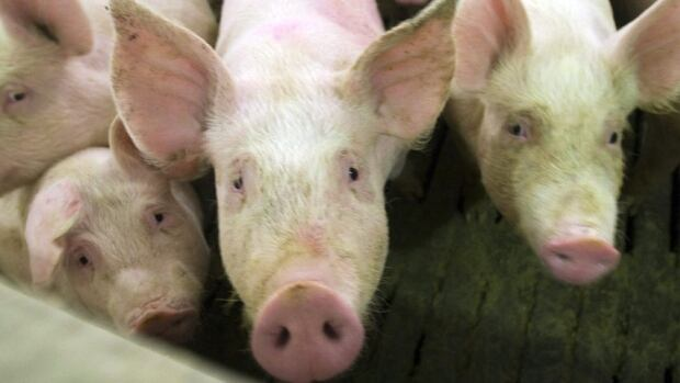 Ontario Pork has warned the virus could cost the country's pork industry tens of millions of dollars in one year alone if it spreads to other provinces.