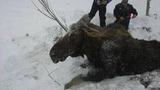 A bull moose, who became caught in a drain that was covered by snow, was rescued by Raymond Barter and a group from Piccadilly on Newfoundland's west coast last weekend.