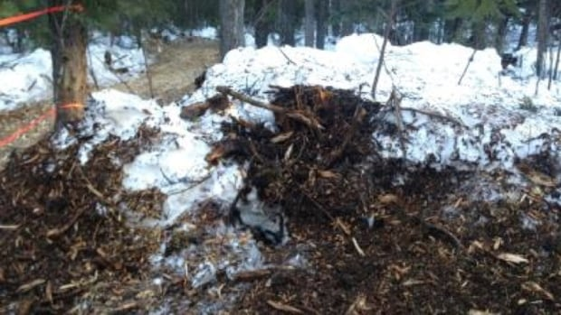 A black bear was hibernating in this den in the Liard Basin, approximately 100 kilometres northwest of Fort Nelson, B.C., when an Apache contractor accidentally ran over the den with a mulcher and killed the bear.