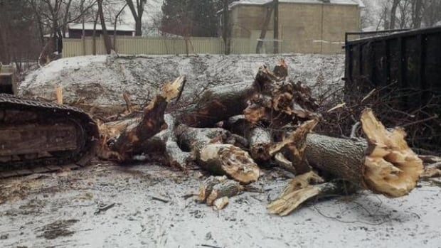 Large tress along the Chatsworth Ravine in Toronto were torn down today without a permit, according to a city councillor.