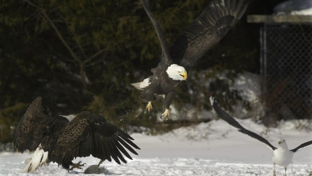 A bald eagle lands on  a farm in Sheffield Mills, N.S.  The  Kings County area, in the Annapolis Valley, has the largest over-wintering population of bald eagles in eastern North America and local  poultry producers  provide carrion for the raptors.