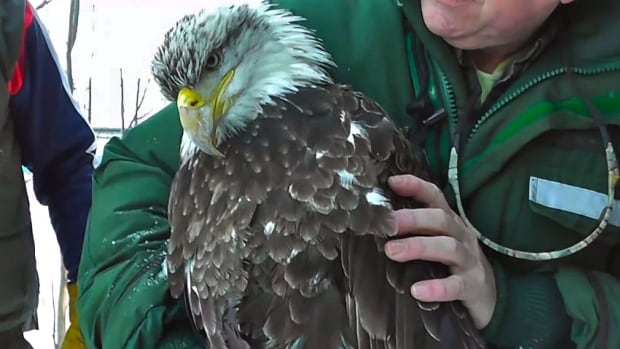 The eagle was found in distress in the woods two weeks ago. It has since died of what veterinarians believe was lead poisoning.