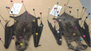 New Brunswick Museum is testing frozen brown bats as part of white-nose syndrome research