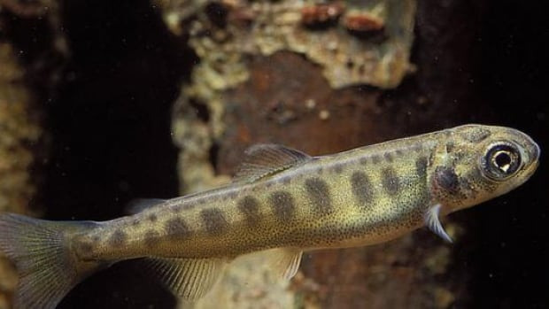 Juvenile Chinook salmon somehow find their way to foraging grounds in the ocean that they have never seen.